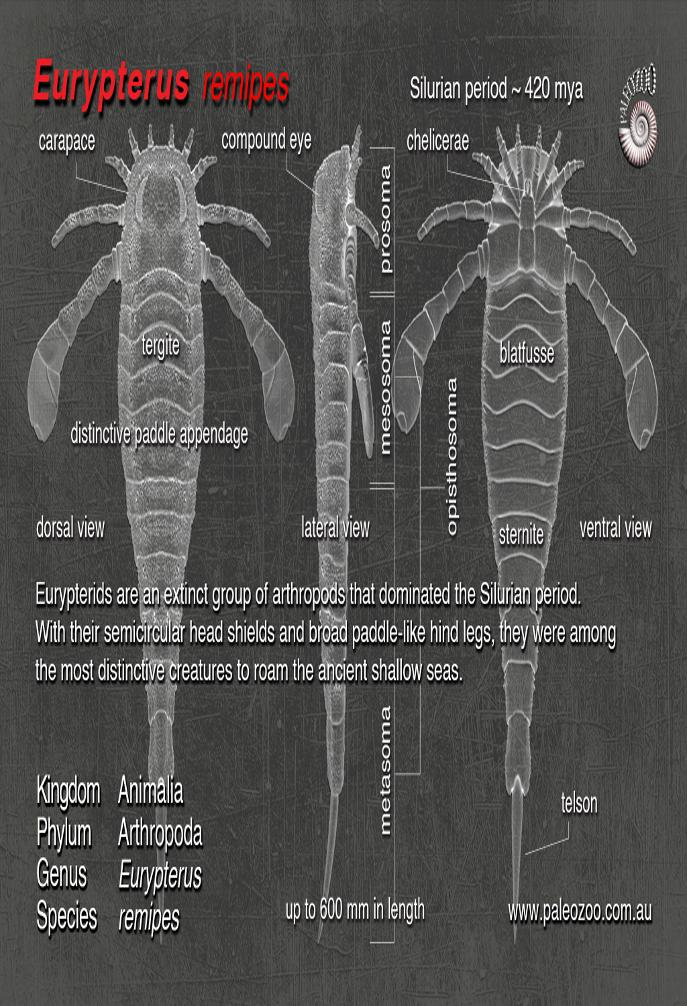 Eurypterus remipes anatomy from Paleozoo Evolutionary models by Bruce Currie
